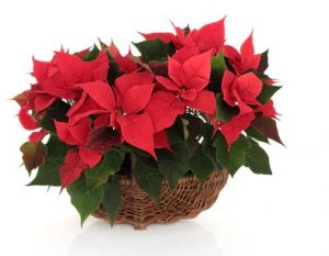 Poinsettia Flower Arrangement